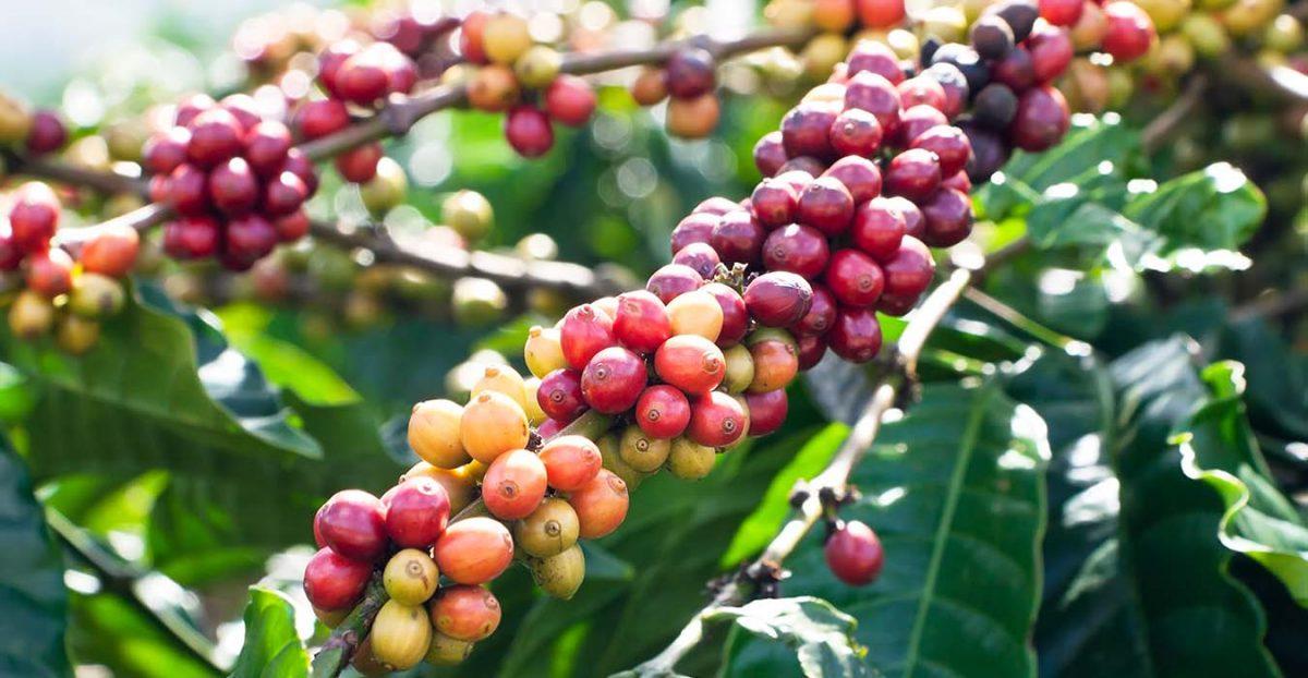 Kavamedžiai auga visose aukštumose: nuo jūros lygio iki šalčių linijos tropikuose